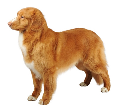 Retriever de la Nouvelle Ecosse (Nova Scotia Duck Tolling Retriever)