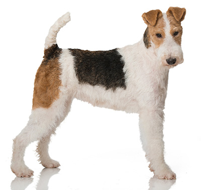 Fox Terrier à poil dur