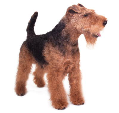Welsh Terrier (Terrier gallois)