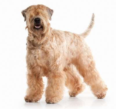 Terrier irlandais à poil doux (Irish Soft Coated Wheaten Terrier)